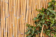 Ivy on bamboo Stock Photo