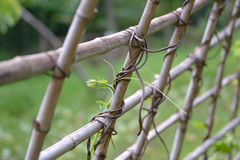 Ivy bamboo Royalty Free Stock Photo