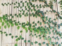Ivy on bamboo wall concept nature background royalty free stock photo