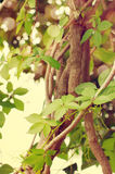 Ivy. Beautiful background with the bound ivy branches. Stock Photo