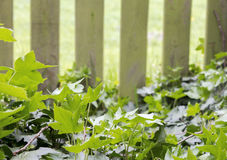 Ivy. Beautiful image of ivy plant and fence in background Stock Photos