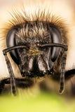 Ivy Bee, abeja, hederae de Colletes Fotografía de archivo libre de regalías