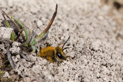 Ivy bee (Colletes hederae) emerging from burrow amongst soil on ground royalty free stock images