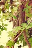 ivy Bello fondo con i rami rilegati dell'edera Fotografia Stock