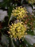 Ivy Berries gêmea nova Fotos de Stock
