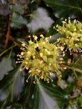 Ivy Berries nova Foto de Stock