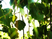 Ivy with blurred out background. royalty free stock photography