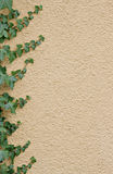 Ivy border. On an apricot-colored concealed wall Stock Photography