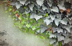 Ivy border on a dirty wall Royalty Free Stock Image