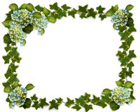 Ivy border with Hydrangea flowers Royalty Free Stock Images
