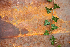 Ivy. Brach of green ivy on rusty background Stock Images
