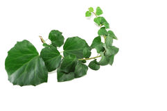 Ivy branch Stock Photography
