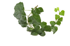 Ivy branch Stock Images