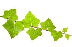 Ivy branch Stock Photo