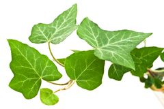 Ivy branch. Green ivy leaves with veins on white background royalty free stock photography