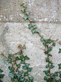 Ivy. Branch on a concrete wall Royalty Free Stock Photo