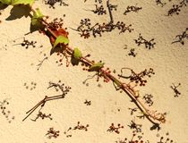 Ivy branch with leaves and fragments of roots on a vertical wall surface Royalty Free Stock Photography
