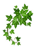 Ivy branch. Vector illustration. Vector green ivy branch isolated on a white background Royalty Free Stock Photos