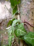 Ivy branches with green leaves covering an old ruin Royalty Free Stock Photo