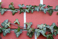Ivy on brick close-up. Two horizontal rows of decorative ivy growing on a wall in New Jersey; USA Royalty Free Stock Images