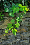 Ivy on brick stone wall Stock Images