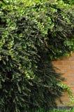 Ivy on brick wall Stock Photos