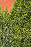 Ivy and Brick Wall Stock Photos