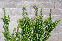 Ivy on  brick wall Royalty Free Stock Photography