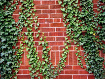 Ivy on the brick wall. Ivy climbing the brick wall of a house Royalty Free Stock Photography