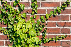 Ivy on a brick wall. Royalty Free Stock Images
