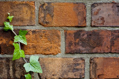Ivy and brick wall background in autumn Royalty Free Stock Image