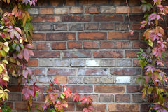 Ivy and brick wall background in autumn Stock Photos