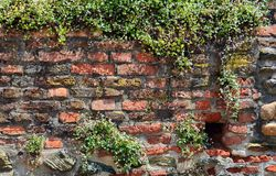 Ivy on the brick wall Stock Images