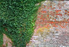 Ivy and brick wall Royalty Free Stock Images