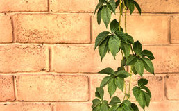 Ivy on a brick wall. Two branches of ivy on a  old brick wall background Stock Images