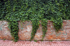 Ivy bricked fence. Royalty Free Stock Image