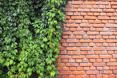 Ivy and bricks. Red wall bricks and green ivy royalty free stock images