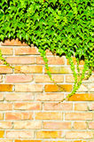 Ivy and bricks Royalty Free Stock Image
