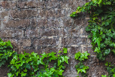 Ivy on the brickwall Stock Images