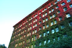 Ivy on a building. Façade of Sylvia Hotel, Vancouver, Canada, covered in ivy royalty free stock photos