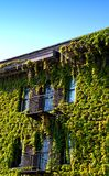 Ivy on Building. Ivy covering building front and balcony Stock Photo