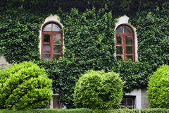 Ivy, building. Whole house overgrown with ivy royalty free stock images
