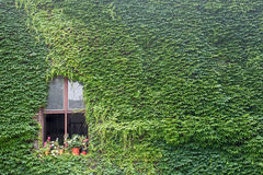 Ivy on a building with window Royalty Free Stock Photography