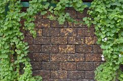 Ivy bush on brick wall Royalty Free Stock Photography