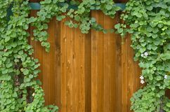 Ivy bush on wooden fence Royalty Free Stock Photo