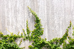 Ivy on cement wall Stock Photo