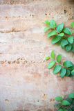 Ivy on cement wall. Ivy on wall orange and free area Stock Photography