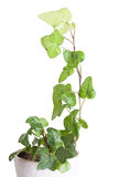 Ivy in a ceramic pot Stock Images