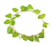 Ivy circle Royalty Free Stock Image