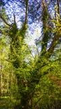 Ivy clad tree Royalty Free Stock Photography